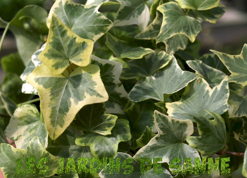 English Ivy Plants: Kasvava informaatio ja English Ivy Care