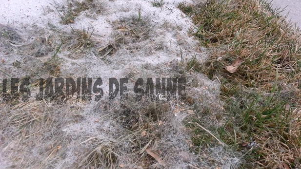 Snow Mold Sienet: Opi Snow Mold Control