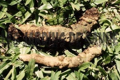 Root Knot Nematode - tauti: Stunted Plant Growth Cause