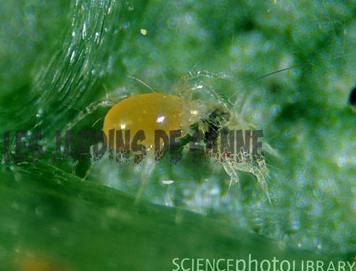 Spider Mite Detection ja Spider Mite Natural Control
