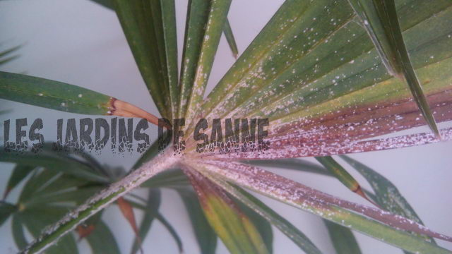 Sticky Residue Spider Plants - Kuinka hoitaa Sticky Spider Plant Leaves