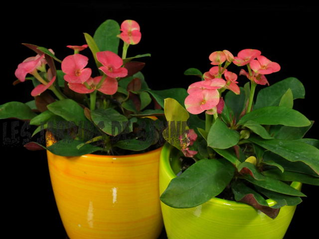 Euphorbia Crown of Thorns Growing: Opi Crown Of Thorns Houseplant Care