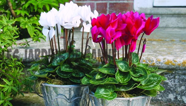 Container Grown Cyclamen: Outdoor Cyclamen in Pots
