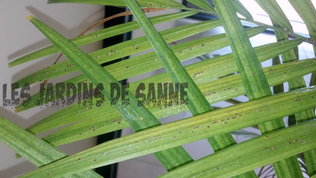 Sticky Palm Tree Leaves: hoito Palm Scale